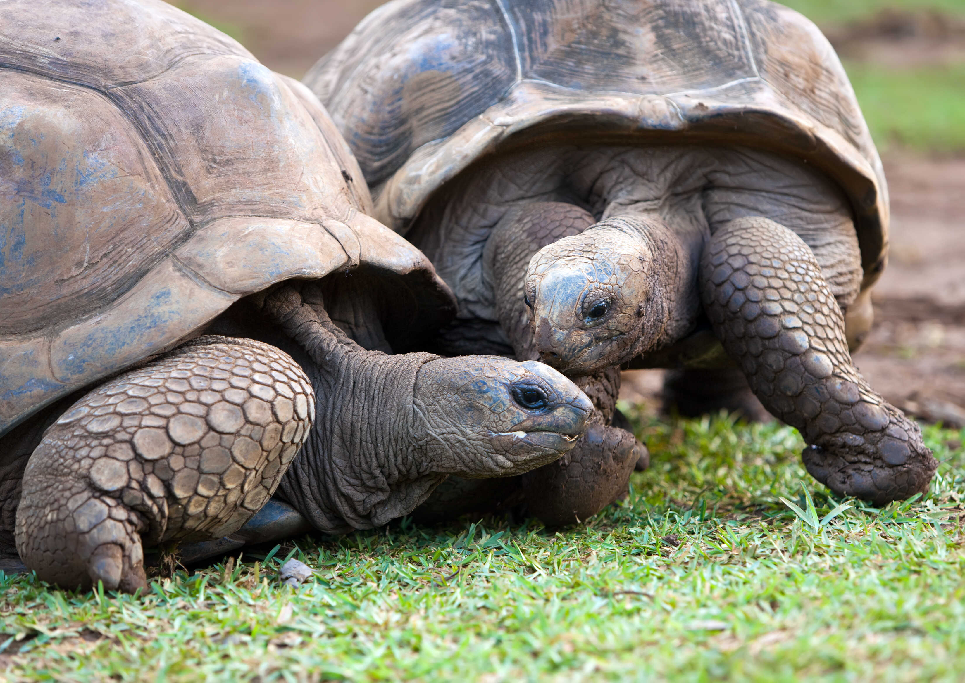 gettyimages_177324146_tortues-seychelles_optimized